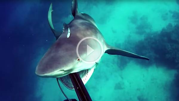 Close Call! Bullshark Attacks Spearfisherman