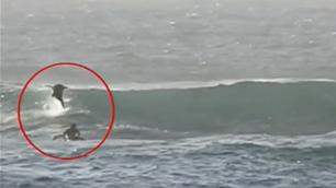 Dolphin Bodyslams Surfer On Gold Coast