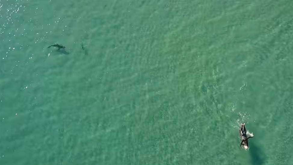 Oblivious to the Sharks