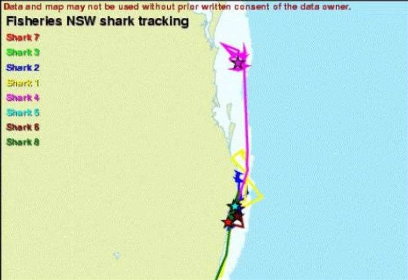 Public Now Able To Track Tagged Sharks On NSW North Coast