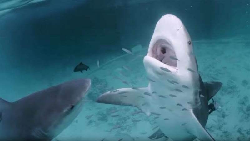 Scepticism Receding? New Sharkbanz Test Footage