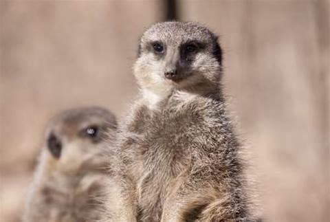 Ubuntu plans 'Maverick Meerkat'
