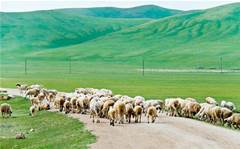 Cisco partner Outcomex brings IoT to major sheep farm