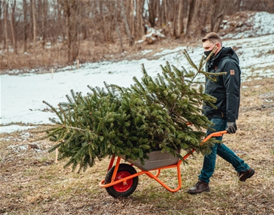 christmas trees get a second life in vilnius