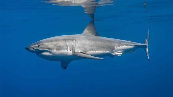 Will the Great White Shark Be Taken Off the Vulnerable Species List?
