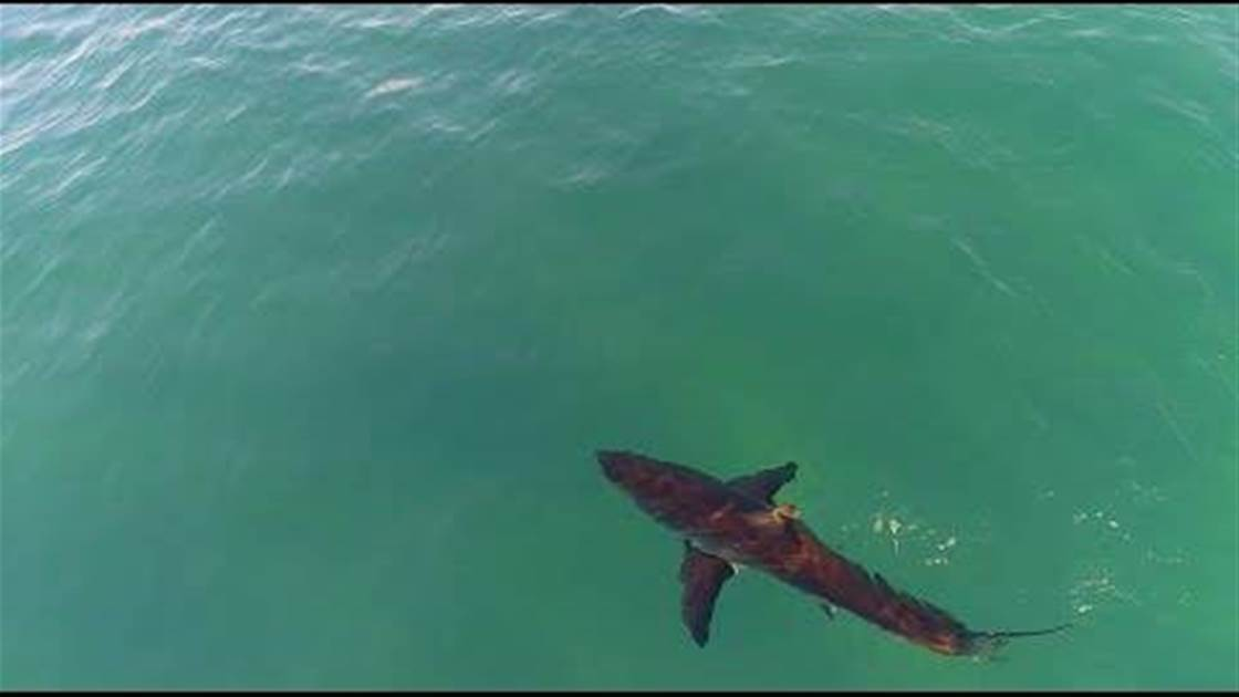 Watch: Great Whites Check Out Surfers, Opt to Eat Elsewhere