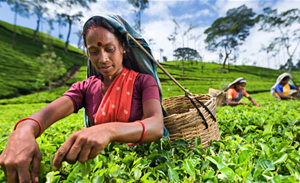 COVID-19 breaks tradition and transforms how Sri Lanka's favourite beverage, tea, is bought and sold