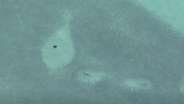 A Shiver of Sharks Stalking Bait Balls at Bondi