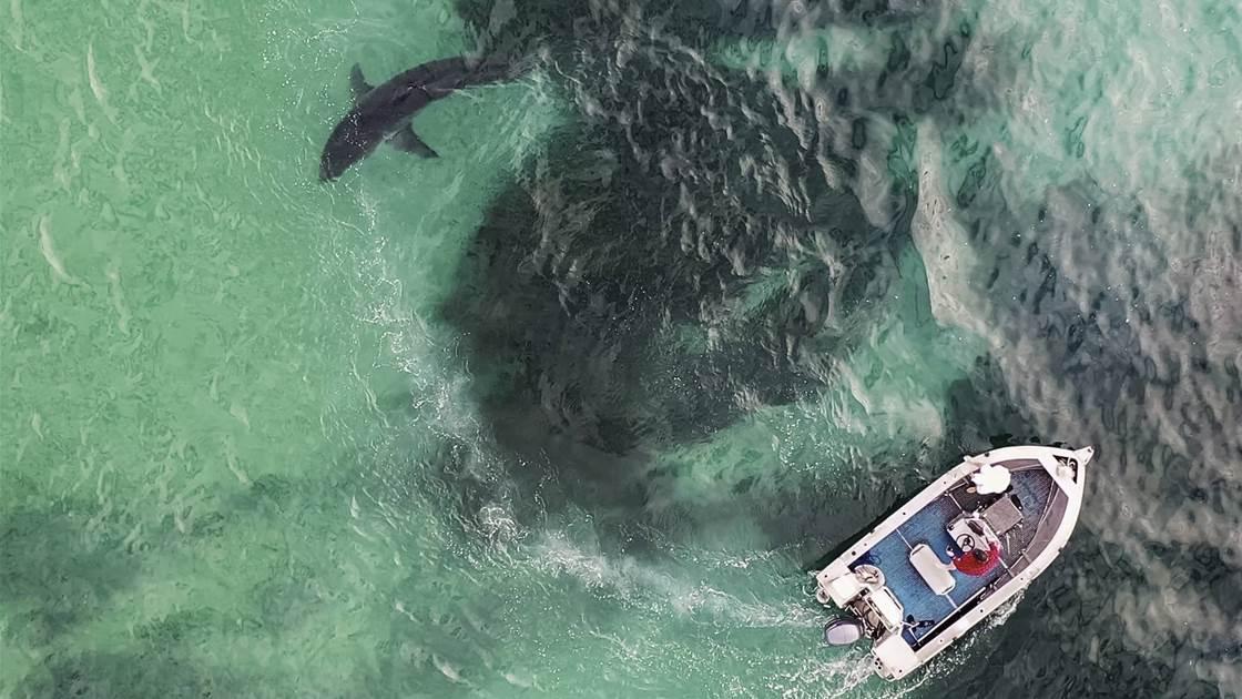 Big Shark! No Bulli!