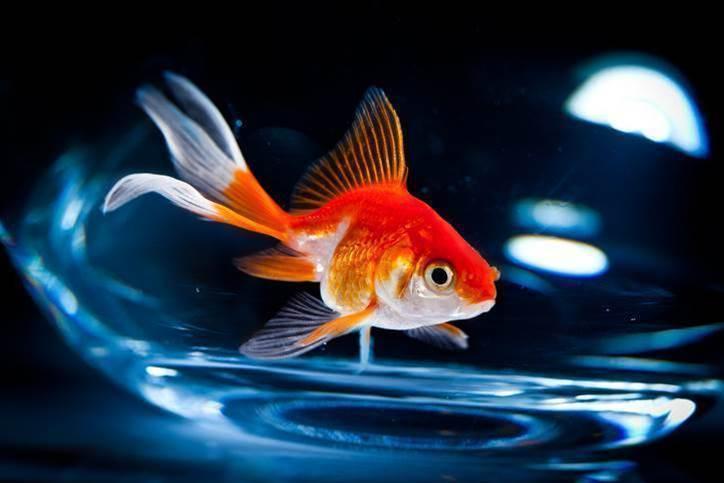 AMP reveals hidden 'goldfish' cloud