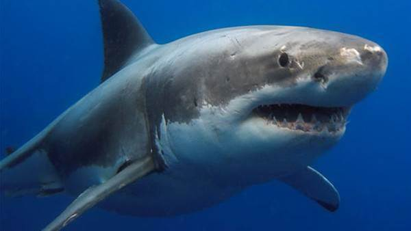 Shark Population Control