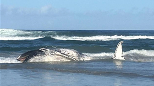 Whale washes up at Casuarina