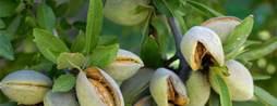 Aussie almond grower in IoT, blockchain experiment