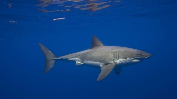 What to Make of the Latest Fatal Shark Attack on the North Coast