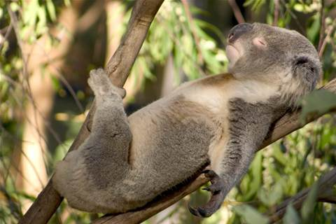 Heat-vision drone helps QUT count threatened koalas