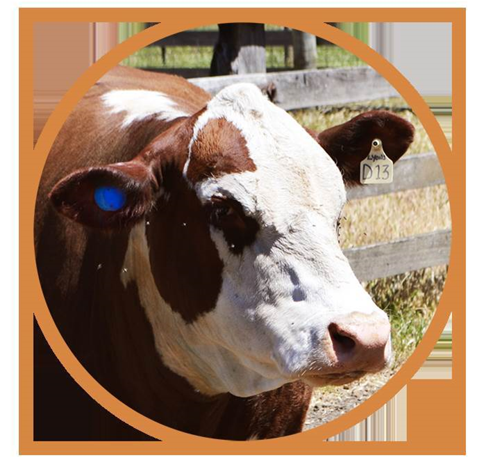 Smart tags help keep tabs on cattle