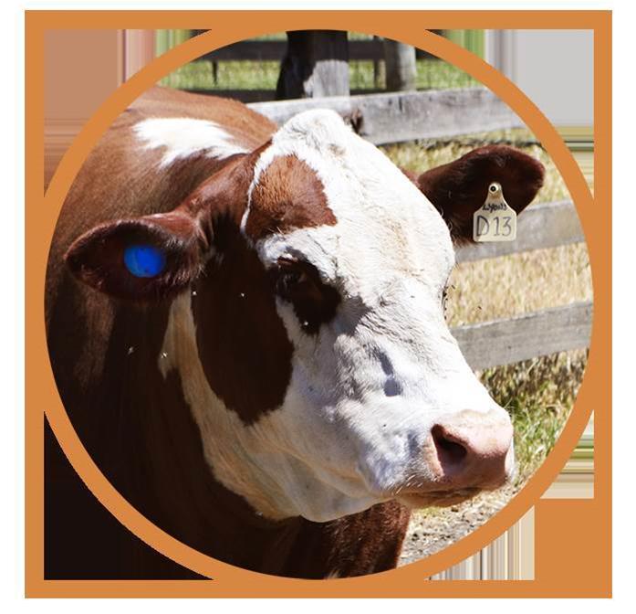 Smart tags help keep tabs on cattle