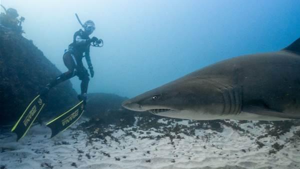 The Right Treatment for Grey Nurse Sharks.