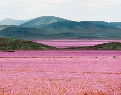 a desert in bloom