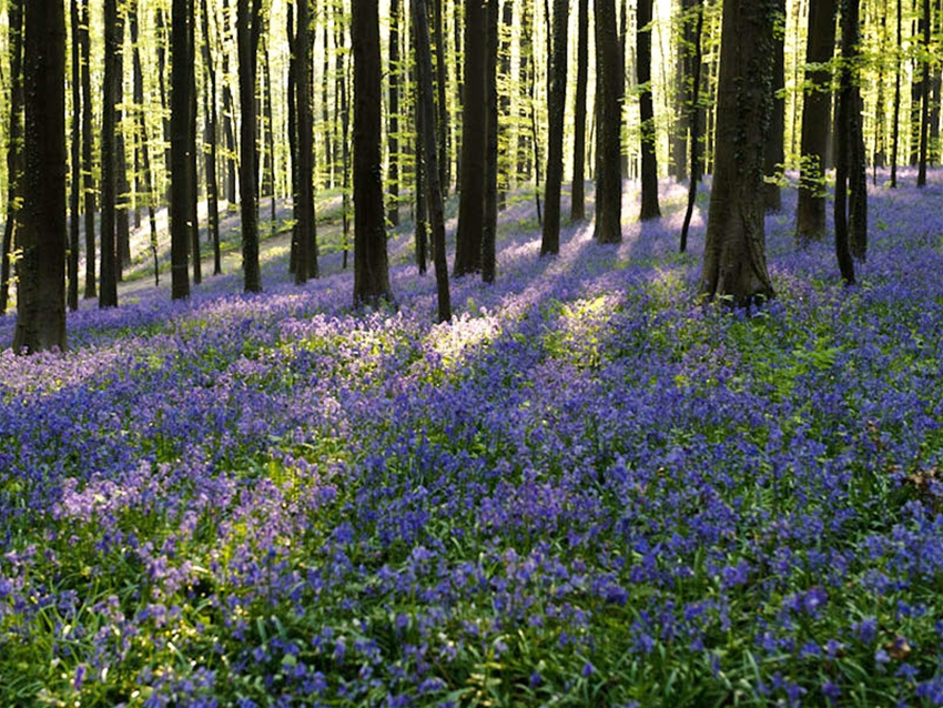 the bluebell carpet of belgium