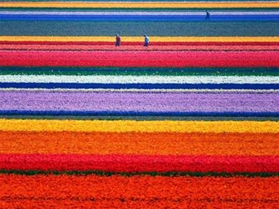 the netherlands' vibrant tulip fields