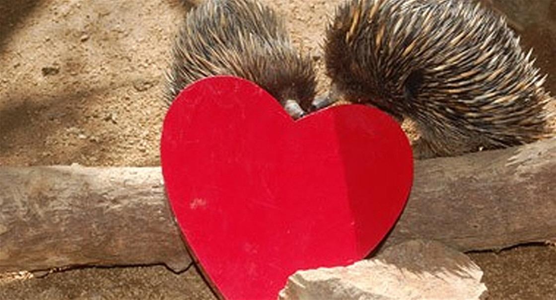 Valentines for Echidna BFFs!