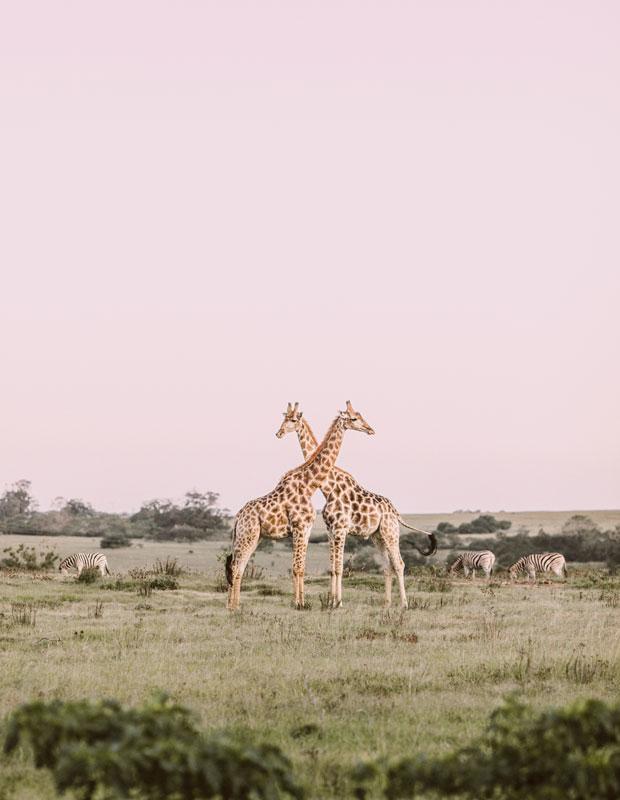 stocksy frankie giraffes 2