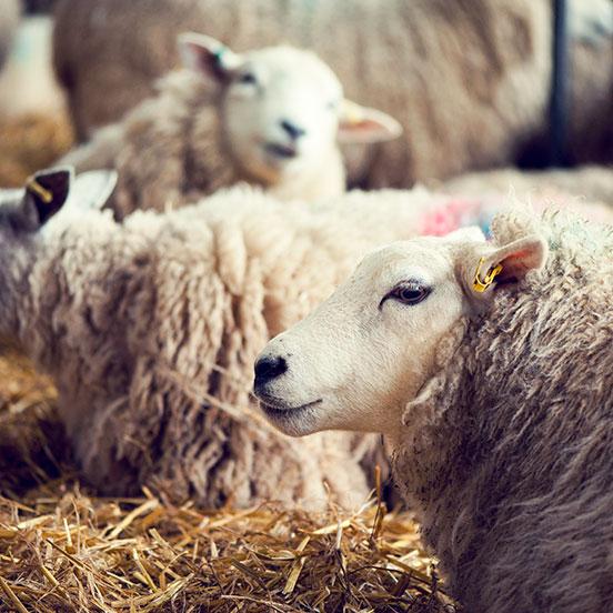 Photobombing sheep