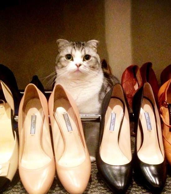 Taylor Swift's pet cat, Meredith, a Scottish Fold.